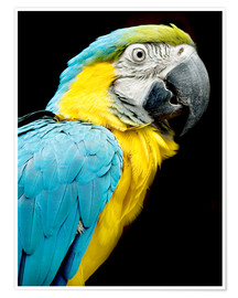 Premium poster beautiful Blue and yellow macaw