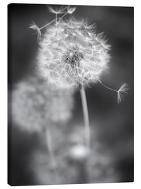 Canvas print  Dandelion (black/white) - Julia Delgado