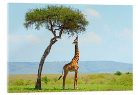 Acrylic print  Giraffe eats on a tall tree - HADYPHOTO