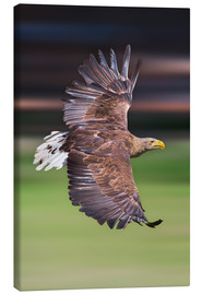 Canvas print  Flying white-tailed eagle - Frank Fischbach