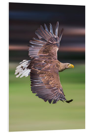 Forex  Flying white-tailed eagle - Frank Fischbach