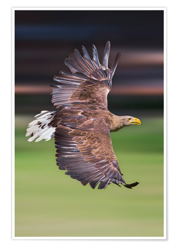 Flying White Tailed Eagle Posters And Prints