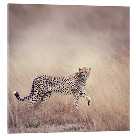 Acrylic print  Cheetah on the hunt