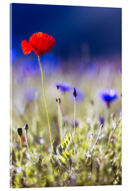 Acrylic print  Blooming poppies and lentils - Frank Fischbach