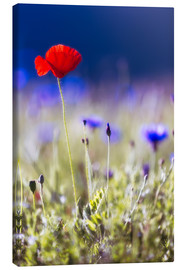 Canvas print  Blooming poppies and lentils - Frank Fischbach