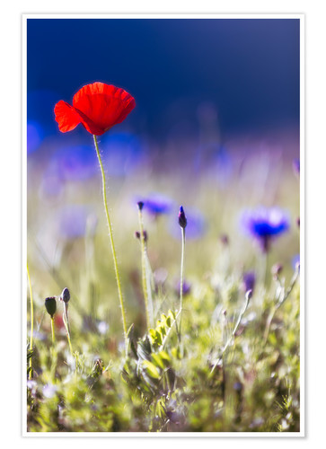 Premium poster Blooming poppies and lentils