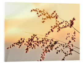 Acrylic print  Grasses in the evening light