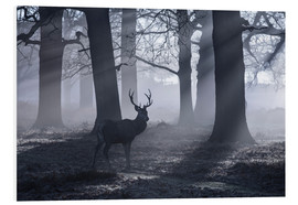 Foam board print  A male red deer stag waits in the early morning mists of Richmond park, London. - Alex Saberi