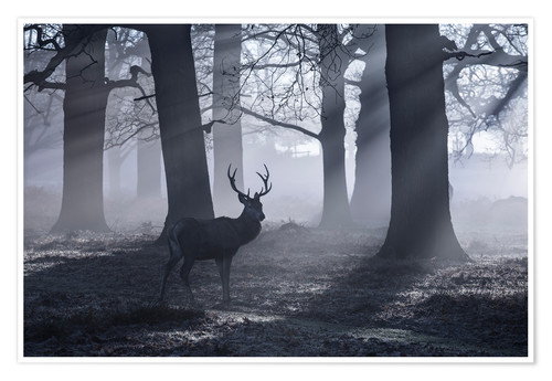 Premium poster A male red deer stag waits in the early morning mists of Richmond park, London.