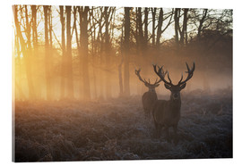 Acrylic print  Two deers in Richmond Park, London - Alex Saberi