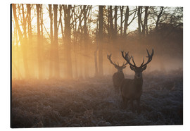 Aluminium print  Two deers in Richmond Park, London - Alex Saberi
