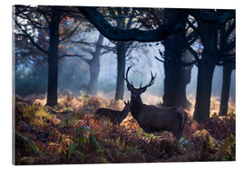 Acrylic print  A red deer stag in a misty forest in Richmond park, London. - Alex Saberi