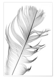 Premium poster  Delicate feather