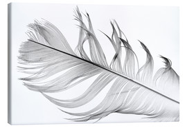 Canvas print  Feather