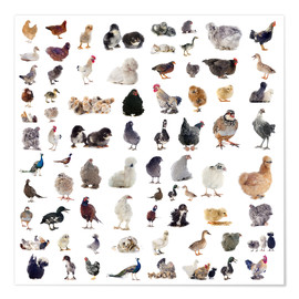 Poster  Overview Chicken