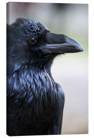 Canvas print  Raven looking over his shoulder