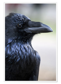 Premium poster  Raven looking over his shoulder