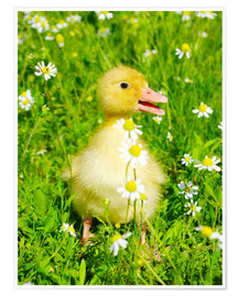 Poster Duckling on flowery meadow