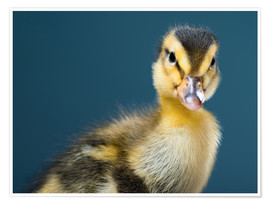 Premium poster  cheeky duckling
