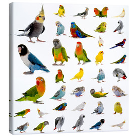 Canvas  Parrots and parakeets