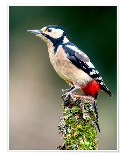 Premium poster Woodpecker stands guard