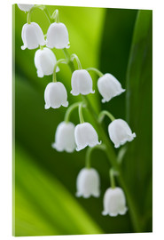 Acrylic print  Lily of the Valley