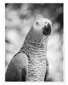 Poster  African grey Parrot in gray