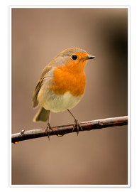 Poster  Cheeky robin