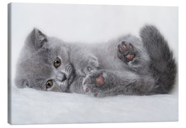 Canvas print  British shorthair kitten - Heidi Bollich