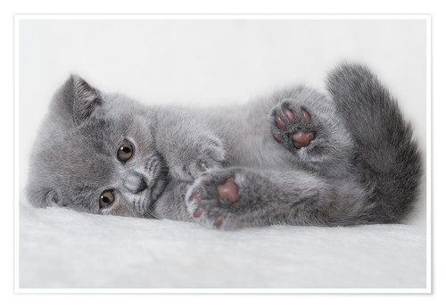 Premium poster British Shorthair Kitten 23