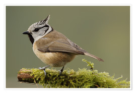 Uwe Fuchs - Crested Tit in Moos