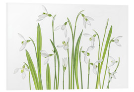 Foam board print  Galanthus Nivalis - Mandy Disher