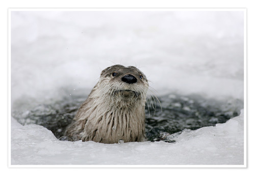 Premium poster Otter from the ice