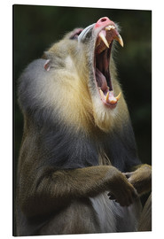 Aluminium print  Mandrill with open mouth - Andreas Keil