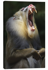 Canvas  Mandrill with open mouth - Andreas Keil