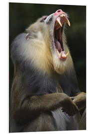 Foam board print  Mandrill with open mouth - Andreas Keil