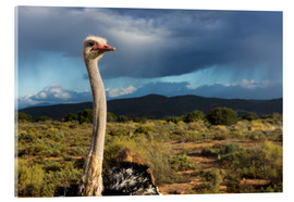 Acrylic print  African ostrich - Catharina Lux