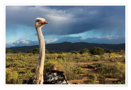 Poster  African ostrich - Catharina Lux