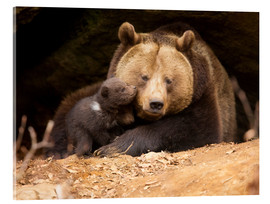 Acrylic print  Brown bear with young bear - Dieter Meyrl