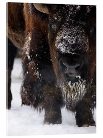 Acrylic glass  American bison - Andreas Keil