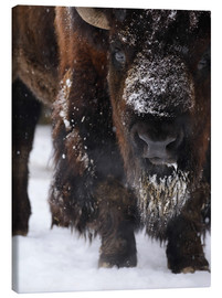Canvas print  American bison - Andreas Keil