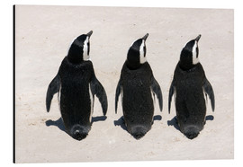 Aluminium print  Three African penguins - Catharina Lux