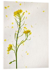 Acrylic print  Mustard flower - Axel Killian