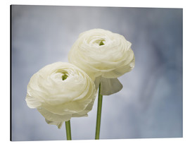 Aluminium print  White ranunculus - Axel Killian