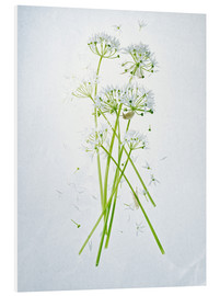 Foam board print  Allium ursinum, medicinal herb - Axel Killian