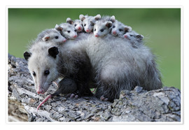 Poster Opossum butter with offspring