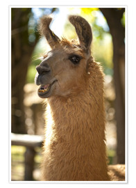 Premium poster  The most photogenic Lama in Padagonia - Chris Seba