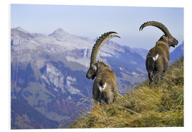 Foam board print  Mountain goats in the Bernese Oberland - Ronald Wittek