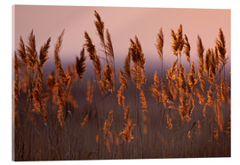 Acrylic print  Reeds in dawn - Raimund Linke