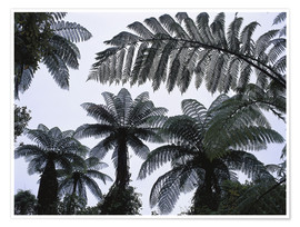 Premium poster A roof of tree ferns